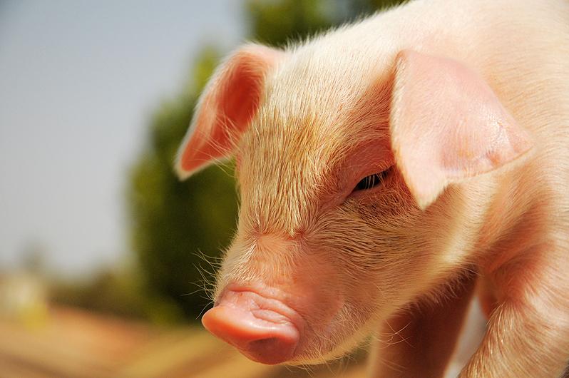 CRISPR Gene-Editing Tool Creates Pigs With 24 Percent Less Body Fat